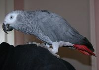 African Grey Parrot Birds for sale in Colorado Springs, CO, USA. price: NA