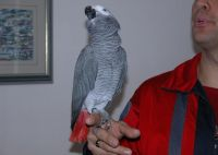 African Grey Parrot Birds for sale in New York, IA 50238, USA. price: NA