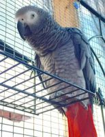African Grey Parrot Birds for sale in Dayton, OH, USA. price: NA