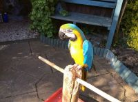 African Grey Parrot Birds for sale in Washington, DC, USA. price: NA