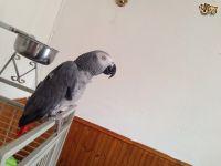 African Grey Parrot Birds for sale in 704 N North Carolina Ave, Atlantic City, NJ 08401, USA. price: NA