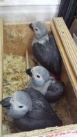 African Grey Parrot Birds for sale in Seattle, WA, USA. price: NA