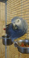 African Grey Parrot Birds for sale in Canton, OH 44706, USA. price: NA