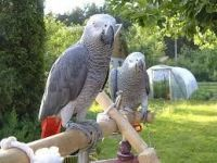 African Grey Parrot Birds for sale in Colorado Springs, CO 80901, USA. price: NA