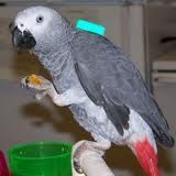 African Grey Parrot Birds for sale in New York County, NY, USA. price: NA
