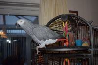 African Grey Parrot Birds for sale in New York, NY, USA. price: NA