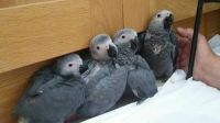 African Grey Parrot Birds for sale in Austin, TX, USA. price: NA