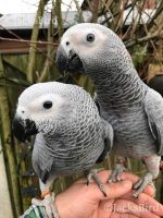 African Grey Parrot Birds for sale in Los Angeles County, CA, USA. price: NA
