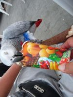 African Grey Parrot Birds for sale in NJ-120, East Rutherford, NJ, USA. price: NA