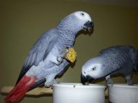 African Grey Parrot Birds for sale in Richmond, CA, USA. price: NA