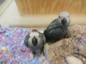 African Grey Parrot Birds for sale in Ontario, CA 91758, USA. price: NA