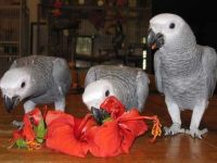 African Grey Parrot Birds for sale in Newark, NJ, USA. price: NA