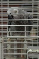 African Grey Parrot Birds for sale in Maryland Parkway, Las Vegas, NV, USA. price: NA