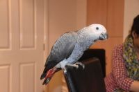 African Grey Parrot Birds for sale in Feeding Hills, MA 01030, USA. price: NA