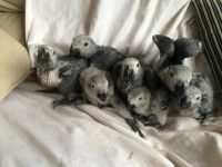 African Grey Parrot Birds for sale in Glendale, AZ, USA. price: NA