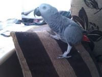 African Grey Parrot Birds for sale in El Paso, TX, USA. price: NA