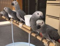 African Grey Parrot Birds for sale in Tampa, FL 33601, USA. price: NA