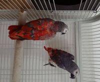 African Grey Parrot Birds for sale in Virginia Beach, VA, USA. price: NA