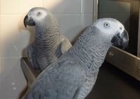 African Grey Parrot Birds for sale in Baton Rouge, LA, USA. price: NA