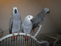 African Grey Parrot Birds for sale in Feeding Hills, Agawam, MA 01030, USA. price: NA