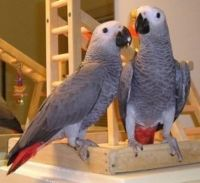 African Grey Parrot Birds for sale in Honolulu, HI, USA. price: NA