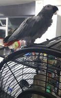 African Grey Parrot Birds for sale in North Bergen, NJ 07047, USA. price: NA