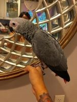 African Grey Parrot Birds for sale in Charlotte, NC, USA. price: NA