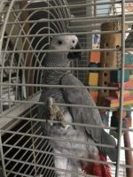African Grey Parrot Birds for sale in Houston, TX, USA. price: NA
