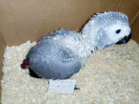 African Grey Parrot Birds Photos
