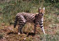 african serval cat