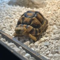 African Spurred Tortoise Reptiles for sale in Los Angeles, CA, USA. price: NA