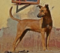 africanis dog