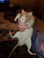 Agile Kangaroo Rat Rodents for sale in Madison, IL, USA. price: NA