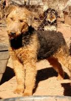 Airedale Terrier Puppies for sale in Marlow, OK 73055, USA. price: NA