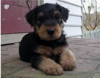Airedale Terrier Puppies for sale in Baldwinsville, NY 13027, USA. price: NA