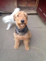 Airedale Terrier Puppies for sale in Atlanta, GA, USA. price: NA