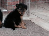 Airedale Terrier Puppies for sale in Modesto, CA, USA. price: NA