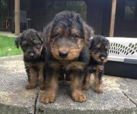 Airedale Terrier Puppies for sale in Adamstown, MD 21710, USA. price: NA