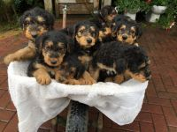 Airedale Terrier Puppies for sale in Rialto, CA, USA. price: NA