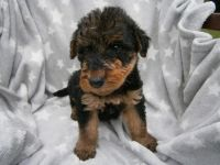 Airedale Terrier Puppies for sale in Pleasantville, PA 16341, USA. price: NA