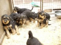 Airedale Terrier Puppies for sale in Round Rock, TX, USA. price: NA