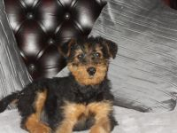 Airedale Terrier Puppies for sale in Detroit, MI, USA. price: NA