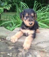 Airedale Terrier Puppies for sale in Little Rock, AR, USA. price: NA