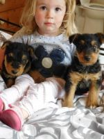 Airedale Terrier Puppies for sale in Honolulu, HI, USA. price: NA