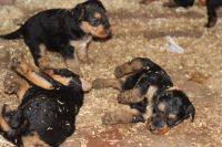 Airedale Terrier Puppies for sale in Baltimore, MD, USA. price: NA