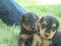 Airedale Terrier Puppies for sale in Columbus, MT 59019, USA. price: NA