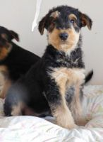 Airedale Terrier Puppies for sale in Albuquerque, NM, USA. price: NA