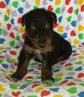Airedale Terrier Puppies for sale in Austin, TX, USA. price: NA