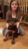 Airedale Terrier Puppies for sale in Daly City, CA, USA. price: NA