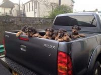 Airedale Terrier Puppies for sale in Niles, MI 49120, USA. price: NA